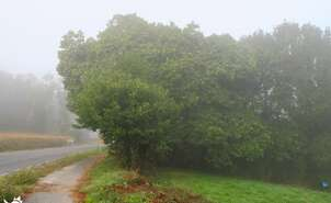 Chestnut trees along the Way of Saint James
