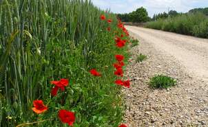 Road Poppies