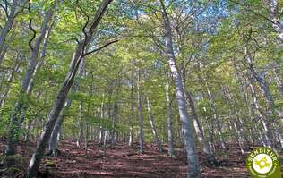 Beech Forest of Peña Roya