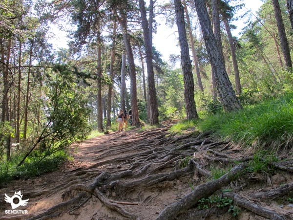The roots of the trees run from side to side on the path