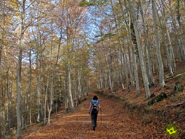 Path of the Beech forest Estate of Ribavellosa